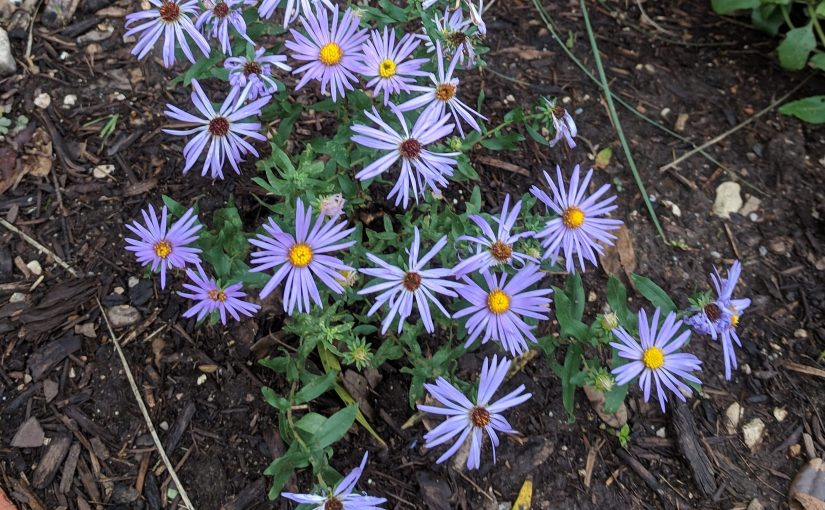 Fall Aster and Best Laid Plans